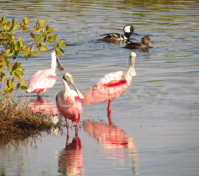 01 Roseate Spoonbills & Hooded Mergansers By William Haddad