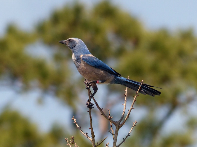 Florida Scrub Jay By Jim Eager (include this on page for scrub jay)