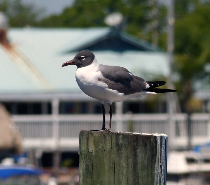 Laughing Gull By Jim Eager