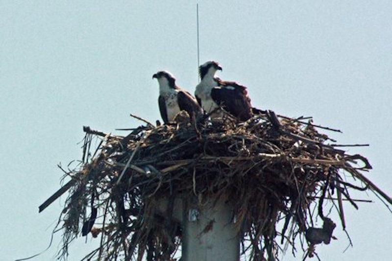 Osprey Nest By Gloria Leblanc