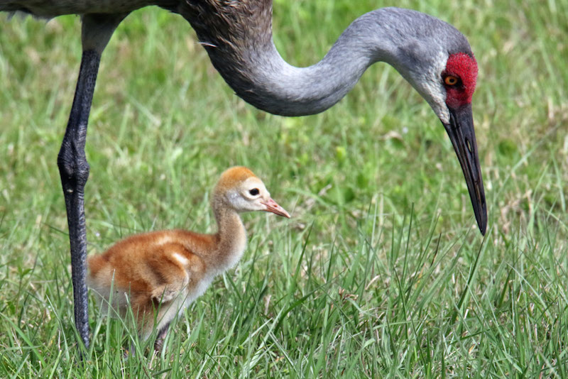 Sandhill Crane & Chick By Mark Wallace