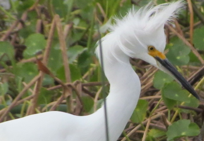Snowy Egret By William Haddad - also put on about us page