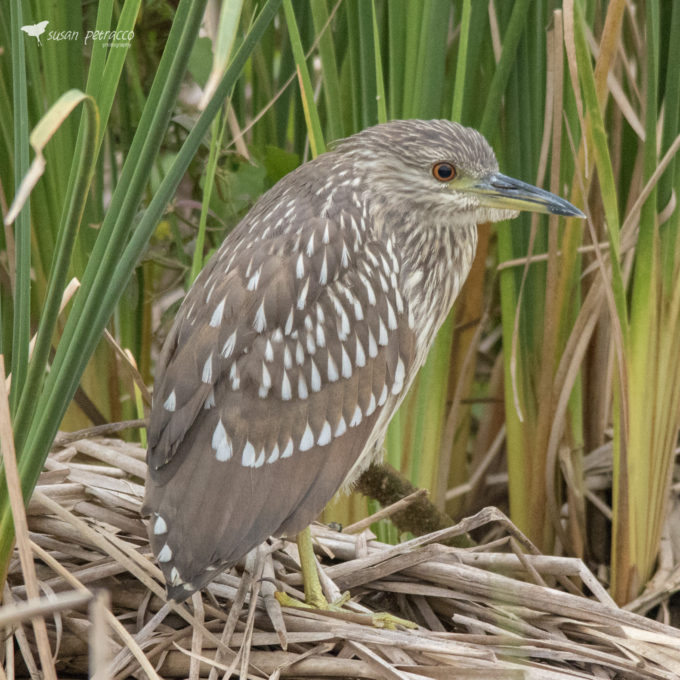 Juvenile Black-Crowned Night Heron by Susan Petracco